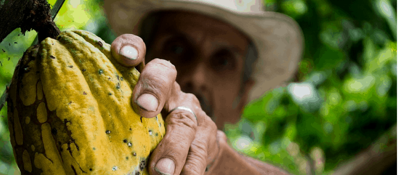 rauwe cacao plant 800x350px