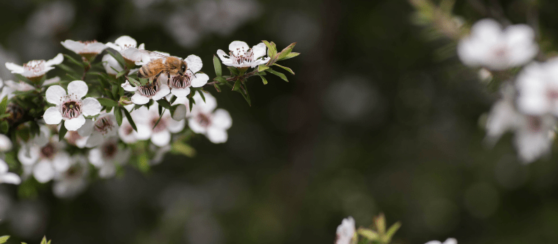 Is Manuka honing echt gezond